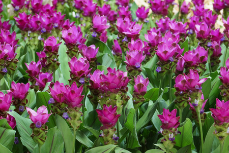 Wild flower field - Curcuma sessilis