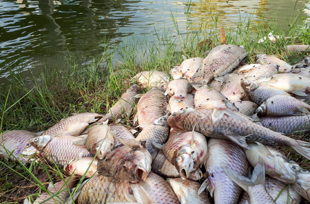 Fish died due to water pollution  Environmental problem caused by human activity concept