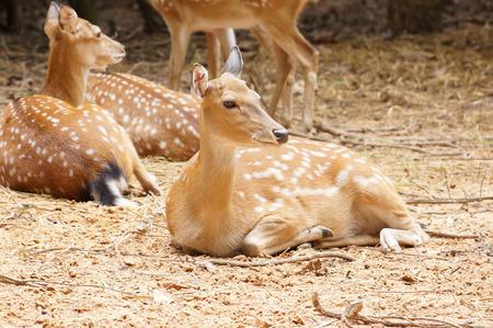 Sika deer, Spotted deer, Japanese deer