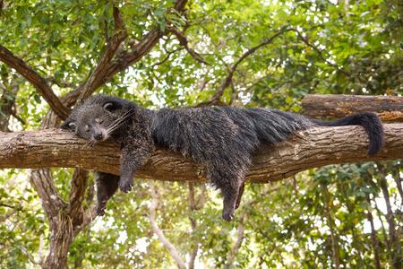 Bearcat sleeping on a tree  Binturong  Arctictis Binturong