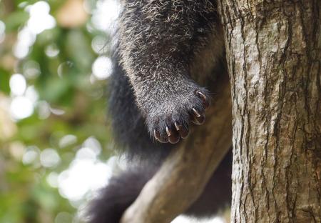 Closeup of Bearcats paw  Binturong  Arctictis Binturong