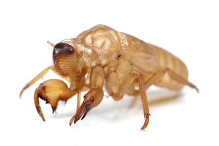 Closeup slough off the cicadas golden shell