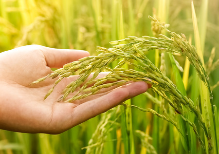 Agriculture. hand gently holding young rice with warm sunlight Stock Photo