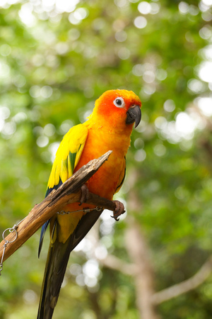 periquito: Jandaya Parakeet or Jenday conure (Aratinga jandaya)