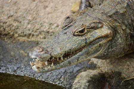 Caiman Crocodile lying and relaxing on rock
