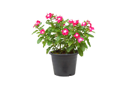 A pot of Catharanthus roseus isolated on white