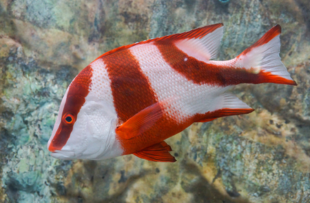 Lutjanus Sebae (Cuvier) - Emperor red snapper / Emperor Bream