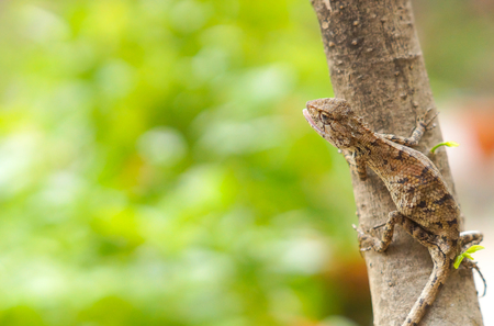 A tropical tree lizard found in Thailand on tree Imagens