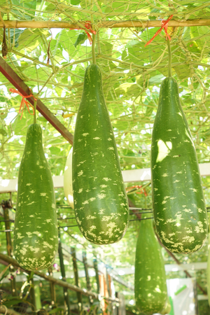 Bottle gourd hung from the ceiling of the house Stockfoto