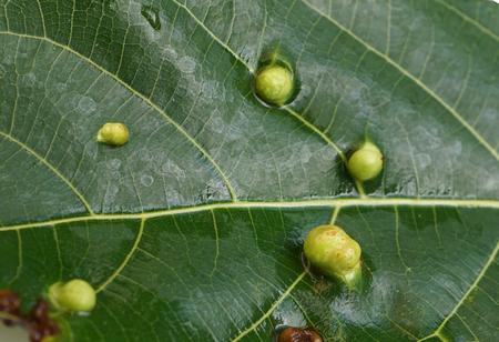 Leaf spot disease / anthracnose disease 版權商用圖片