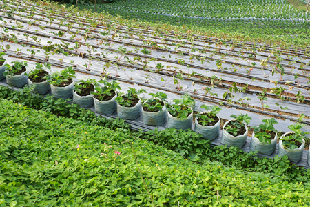 Agriculture. The  Strawberry farm terrace on mountain slope in the countryside of Thailand.