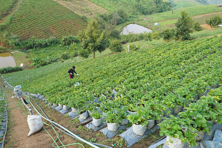 Agriculture. The  Strawberry farm terrace on mountain slope in the countryside of Thailand. Stok Fotoğraf - 120028047