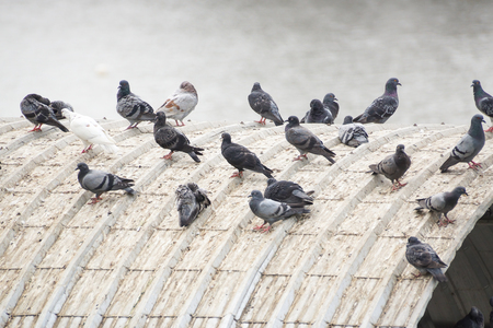 Pigeons on the roof causing problems regarding bad smell, disease, and excrement