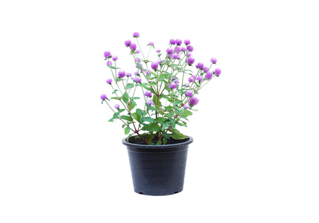 Globe Amaranth in a black plastic pot isolated on white Reklamní fotografie - 120028159