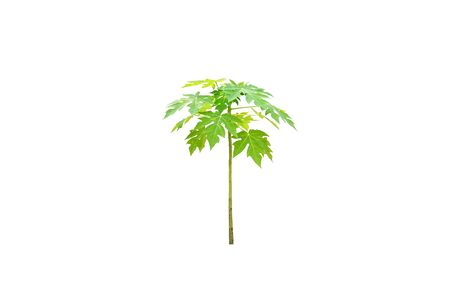 A young papaya tree isolated on white background