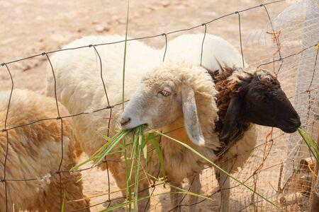 Sheep eating grass Standard-Bild - 126832444