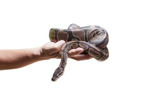 Hand holding a python isolated on white background Standard-Bild - 128335357