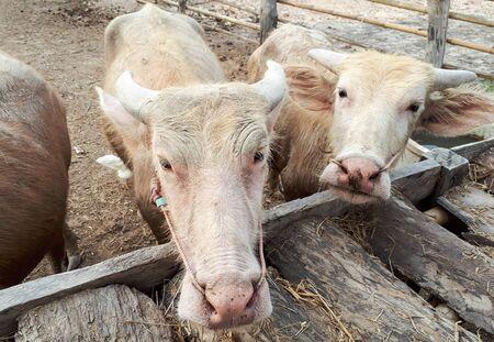 Albino water buffalos eating dry grass