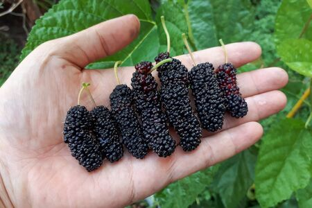 Hand holding different sizes of mulberry