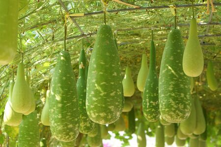 Bottle gourd hung from the ceiling of the house