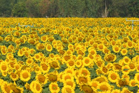 Beautiful Sunflower field in sunny day