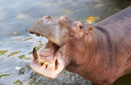 Closeup shot of hippopotamus opens its mouth Stockfoto