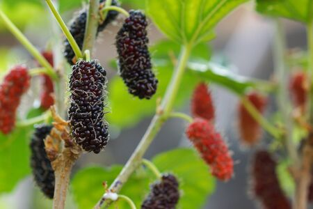 Mulberry fruits on a branch