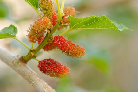 Young mulberry fruits on a branch