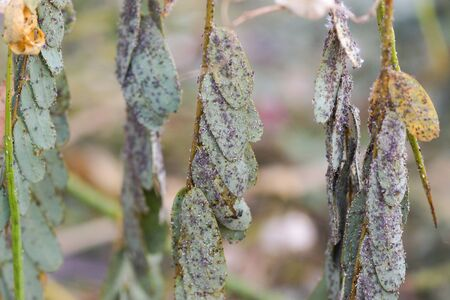 Pest - Aphis craccivora Koch destroying plants