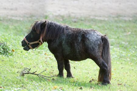 Black Shetland pony eating grass