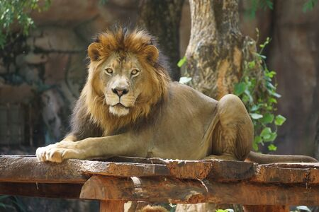 Male lion lying on a wooden stage