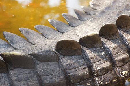 Closeup shot of a crocodile tail