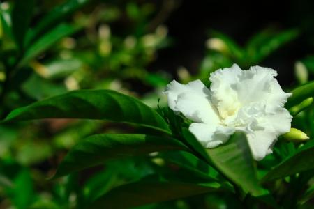 Orange Jessamine white flower