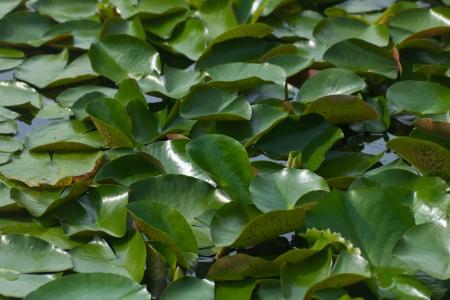 leaf lotus leaves