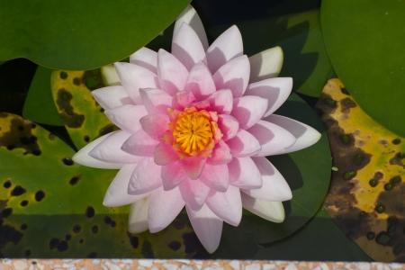 Lotus flower Banco de Imagens - 23573900