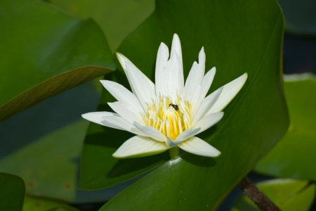 white lotus flower Banco de Imagens