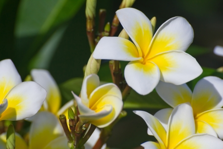 white and yellow frangipani flowers with leaves in background Banco de Imagens - 23905602