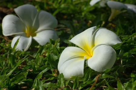 frangipani flowers Banco de Imagens