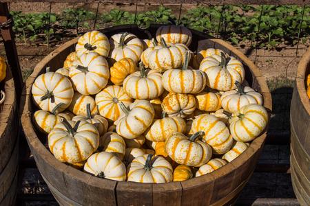 Barrel Of White & Yellow Halloween Squash Stock Photo