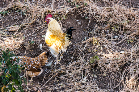 Close Up Of Two Chickens In Straw Stock Photo - 96494807