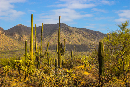 Landscape Of Saguaro Cactus In Arizona Desert