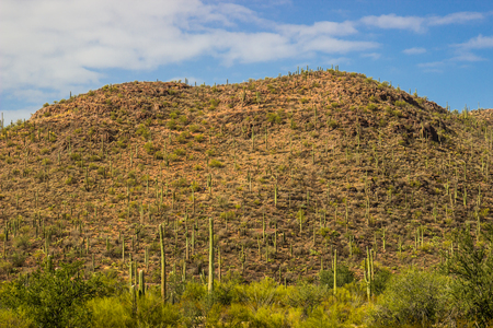 Field Of Saguaro Cactus Growing Up Mountainside Imagens