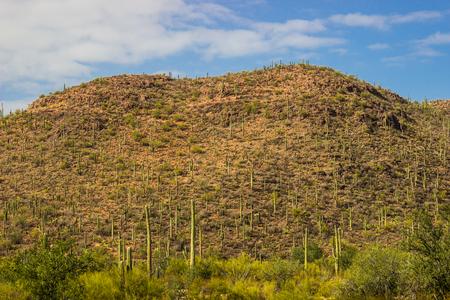 Field Of Saguaro Cactus Growing Up Mountainside 免版税图像