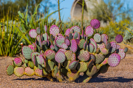 Purple Prickly Pear Cactus In Arizona Desert