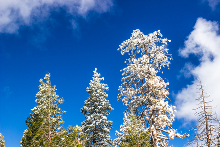 Snow Laden Tree Tops With Blue Sky Background Stock Photo