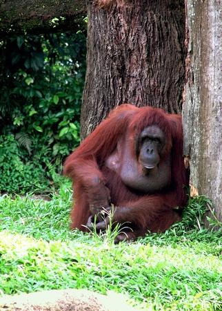 extant: Orangut�n