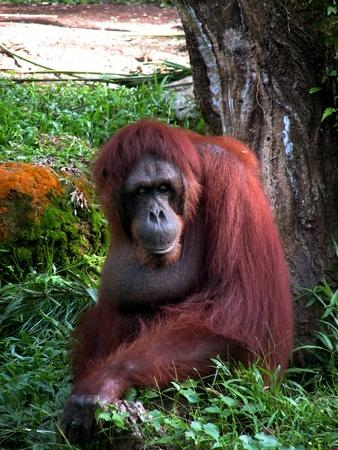 extant: Orangutan