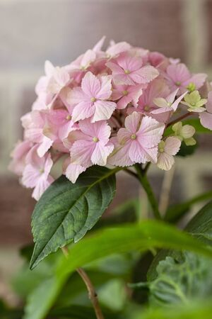 Pink hydrangea on a green background .Growing flowers at home.Floral background. Stock Photo