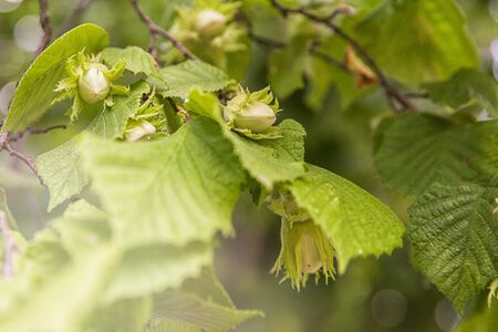 Plant textures and backgrounds.Maturation of hazelnuts . Green texture