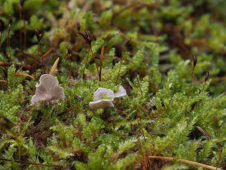 Arrhenia retiruga is a mushroom Stock Photo